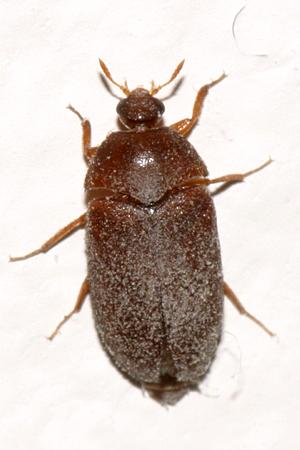 Black Carpet Beetle Attagenus Brunneus Bugguide Net