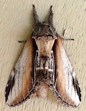 Pheosia californica