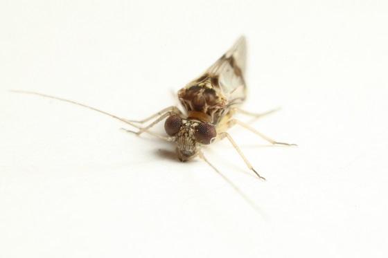 Indiopsocus texanus  - Indiopsocus texanus - male