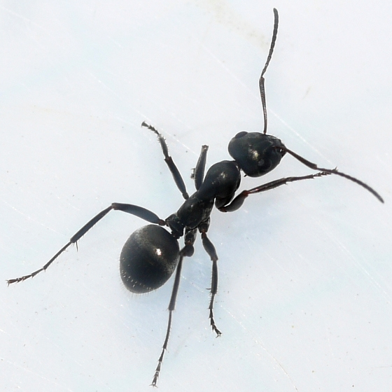ant - Formica subsericea