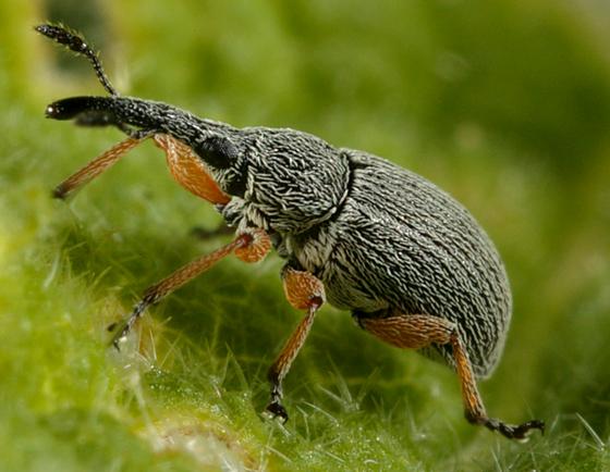 Utah Weevil - Rhopalapion longirostre
