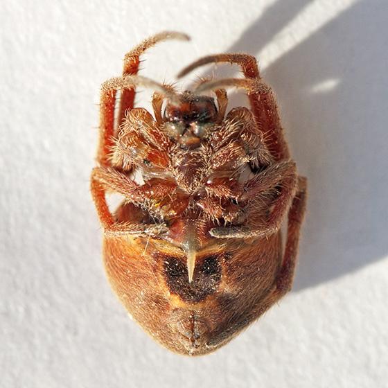 Baars-Firestone spider #8 - Eriophora ravilla