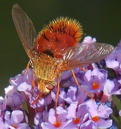 Tachnid Fly - Adejeania vevatrix