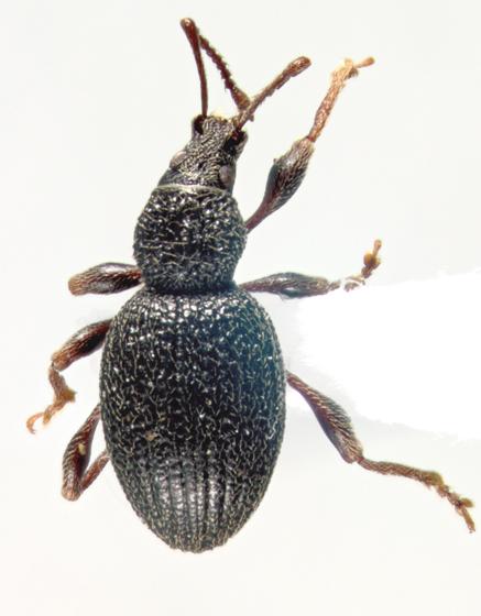 Curculonidae, dorsal - Otiorhynchus ovatus