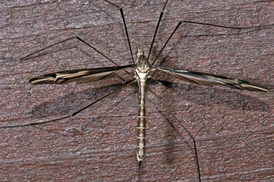 Large Crane Fly - Tipula furca - female