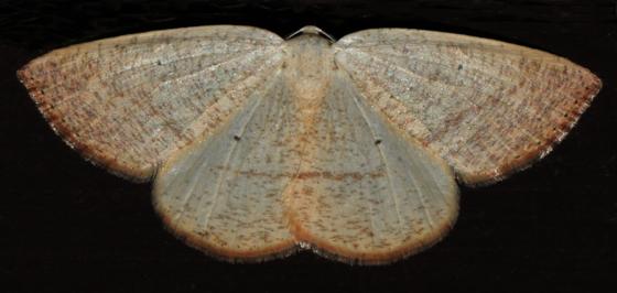 Scopula? - Eudrepanulatrix rectifascia