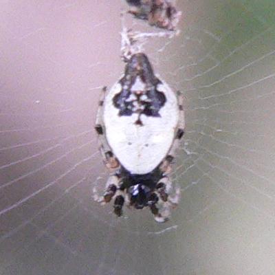 Cyclosa turbinata - female