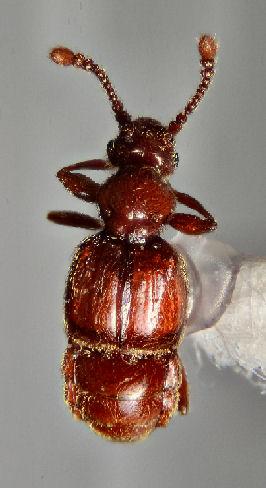 Pselaphinae ? - Oropus striatus