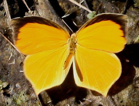 Tailed Orange; winter form - Pyrisitia proterpia