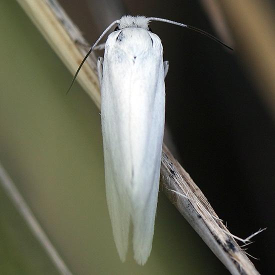 Moth found in Yucca flower
