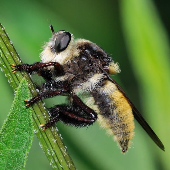 My first Robber Fly - Mallophora fautrix