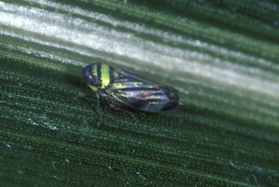 Leafhopper - Stirellus bicolor