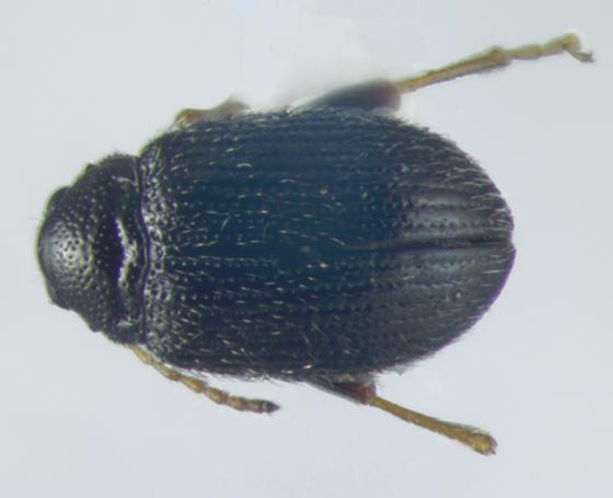 Chrysomelidae, potato flea beetle perhaps, dorsal - Epitrix cucumeris