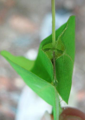 Leaf rolling Cricket - Gathering_2008 - Camptonotus carolinensis