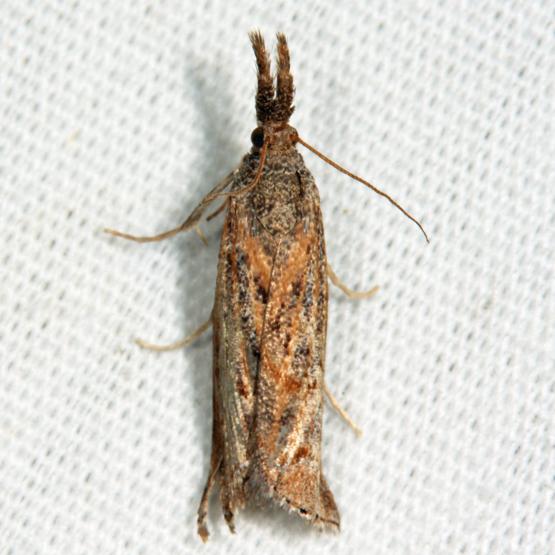Neodactria luteolellus?