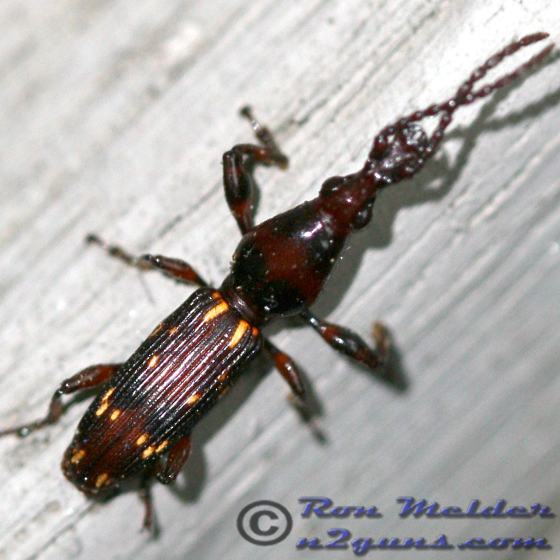 Oak Timberworm - Arrhenodes minutus - male