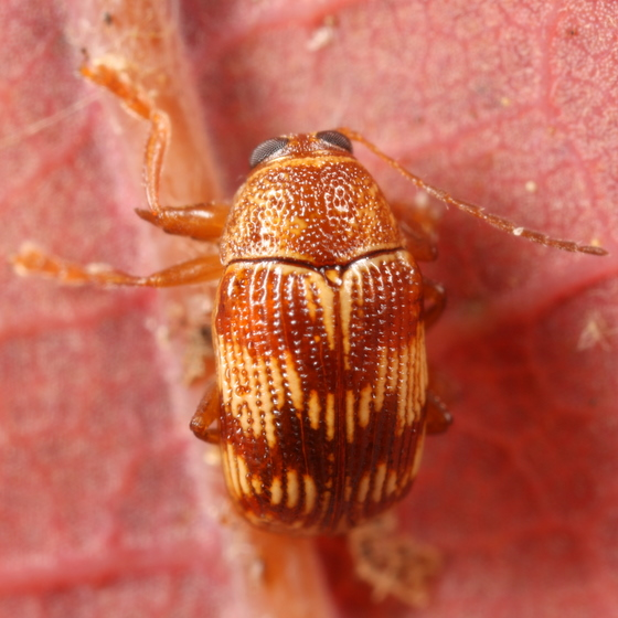 Little striped beetle - Cryptocephalus tinctus
