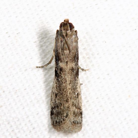Homoeosoma stypticella or Phycitodes reliquellus?
