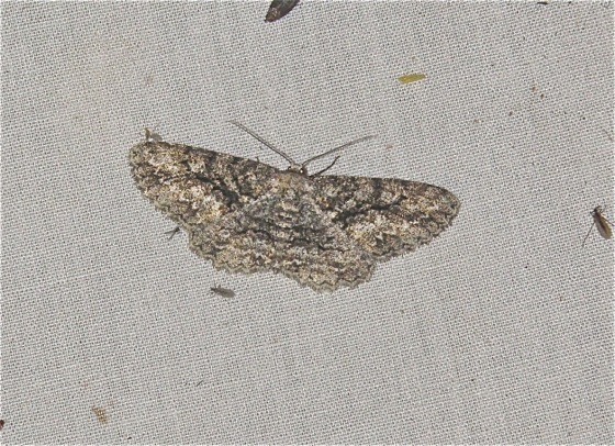 Gray Moth - Glena nigricaria - female