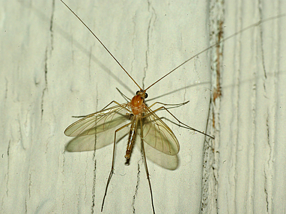 how to tell aphidius from fungus gnat