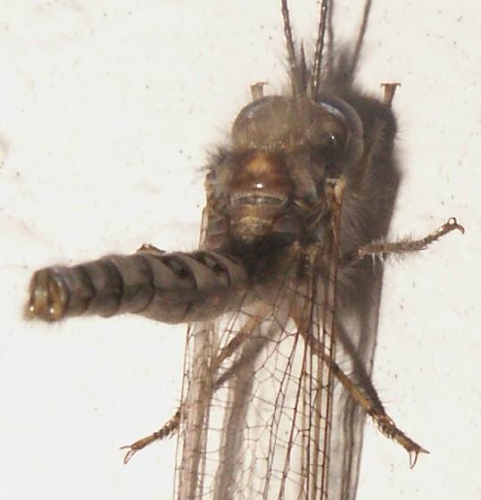 Owlfly, Ululodes, Male? - Ululodes macleayanus - male
