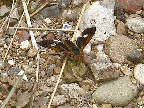 Large Brown Fly - Poecilanthrax effrenus