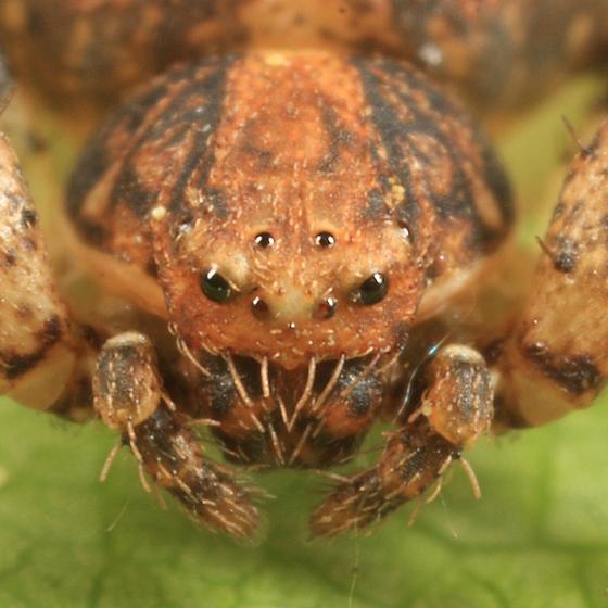 Crab Spider - Ozyptila praticola