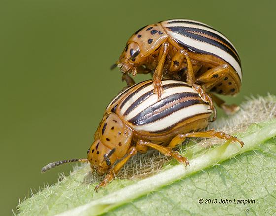 Leptinotarsa juncta - False Potato Beetle - Leptinotarsa juncta - male - female