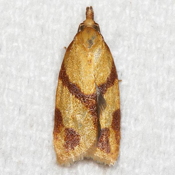 One-banded Sparganothis - Hodges#3711 - Sparganothis unifasciana
