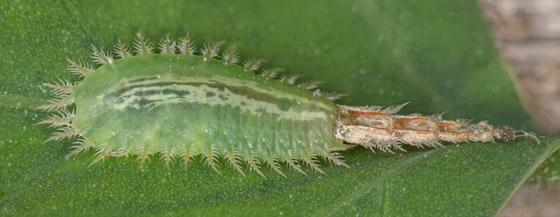 Tortoise Beetle larva ??? - Cassida piperata