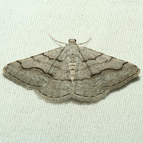 Moth - Digrammia excurvata