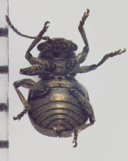 Chrysomelidae, ventral - Graphops curtipennis
