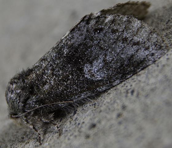slab moth