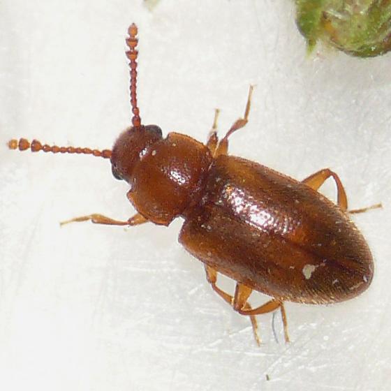 Beetle - Cryptophilus seriatus