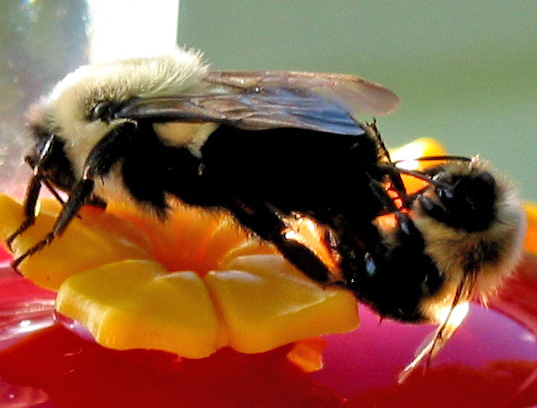 bumblebees mating - Bombus impatiens - male - female