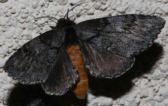 Dark Moth Orange Body - Cargida pyrrha - female