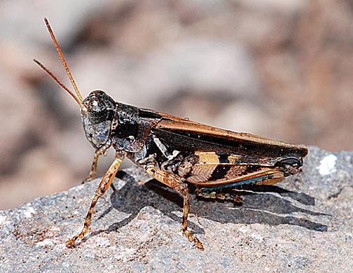 Dichroplus notatus - male