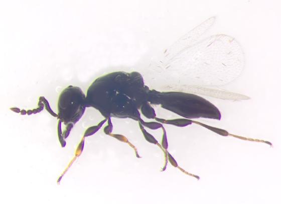 Platygastridae - Platygaster