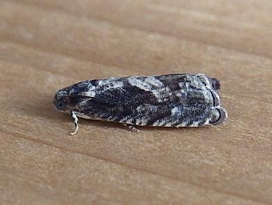 Tortricidae: Cydia? - Cydia