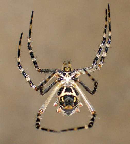 Insect and Spider Identification: Spider ID Please - San ... |San Diego Garden Spiders