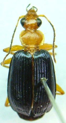 Lebia - Lebia atriventris