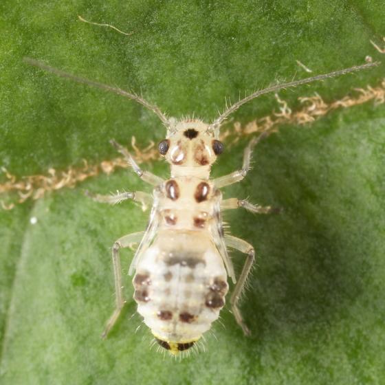 Barklouse nymph - Teliapsocus conterminus