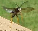 What wasp? - Sphex nudus