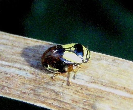 Unknown Bug - Clastoptera proteus