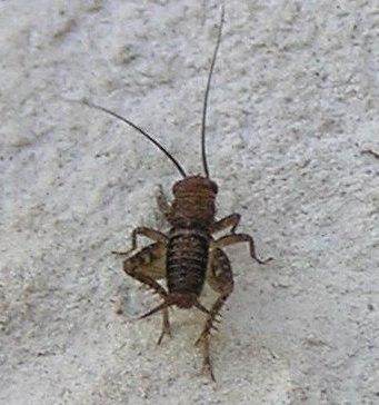 Little Cricket - Neonemobius - male