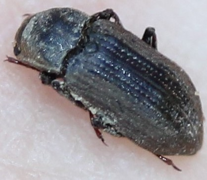 Elmidae