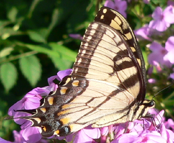 Male Eastern Tiger Swallowtail - Papilio glaucus - male