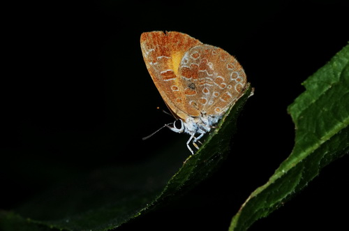 Very delicate Skipper  - Feniseca tarquinius