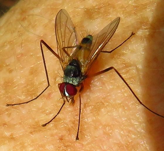 fly - Cholomyia inaequipes - male