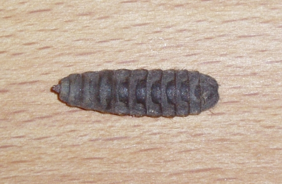 Need help with wasp ID - Hermetia illucens